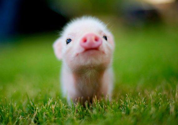230191-Cute-Baby-Piggy